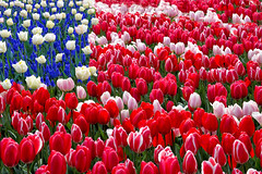 Stars and Tulips Forever (SoCal Mark) Tags: old flowers blue our red usa white never holland london netherlands colors dutch composite night america that stars was star freedom us still team flora memorial day glare tulips spirit mark glory stripes flag air united banner 4th july run dont american there oh proof forever states these does olympics rockets independence bombs fourth say nederlands 1776 spangled forget gave 2012 76 keukenhof london2012 bursting alders markalders