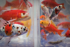 (__AK__) Tags: blue red orange white fish water rouge eyes eau bleu blanc poissons