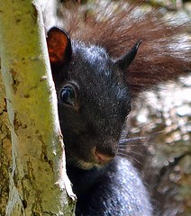 Shy but curious (ctberney) Tags: ontario canada black squirrel inatree hiding stratford
