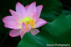 荷花(Lotus) 台北植物園 (joyoyo) Tags: nikon taiwan taipei 台灣 台北 joyoyo tamron70200mmf28 nikond7000 tamronspaf70200mmf28di tamrona001