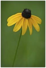 Single Yellow Coneflower (Lane Rushing) Tags: flower yellow bokeh coneflower wildflower shallowdof bigmomma herowinner