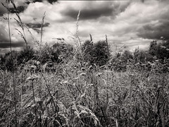 (maistora) Tags: uk england bw film nature field grass mobile ir reading mono phone natural britain sony fine grain meadow cellphone delta simulation smartphone filter tweak copper infrared tall process rank berkshire effect postprocess ilford android edit luxuriant lightroom toning emulation charvil 12mp ultrafine maistora xperia xperias