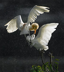 #785  (John&Fish) Tags: bird art nature birds wow photography contemporary taiwan best society 2012 deepavali specanimal innamoramento redmatrix imageourtime
