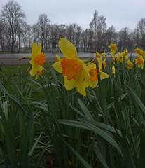 Yolk (Bricheno) Tags: park flowers macro scotland pond escocia szkocja daffodils renfrew schottland robertsonpark scozia cosse  esccia   bricheno scoia