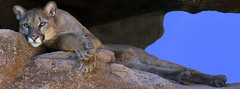 resting Mountain Lion (wplynn) Tags: