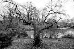 'Dance' Tree (Joe Josephs: 2,600,180 views - thank you) Tags: newyorkcity trees centralpark urbanlandscapes urbanlandscape urbanparks urbannewyorkcity joejosephs nikon28300vrii copyrightjoejosephsphotography nikon800e copyrightjoejosephs2014