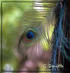 peacock tail (osmitty61) Tags: peacock audobonzoo peacocktail
