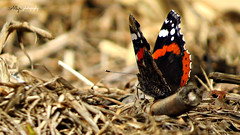 Mariposa, Butterfly, Papillon, Schmetterling, Farfalla, 蝶,  бабочка, 蝴蝶, kupu-kupu, Balanbaalis,  Fjäril, Perhonen, pūrerehua, motyl, ผีเสื้อ,  kelebek, peteliškė, tximeleta, пеперуда, метелик, borboleta, तितली, មេអំបៅ, Féileacán,  papallona, leptir, (Alberto Jiménez Rey) Tags: naturaleza nature animal butterfly alberto papillon manuel rey mariposa jimenez albjr albjr7 alylu