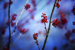 Anticipation (Rosemary Danielis) Tags: blue trees red sky plants nature leaves outdoors spring maple redmaple
