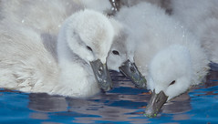 Cute & Cuddly (wowography.com) Tags: cute nature water nikon wildlife cygnet may explore cuddly babybird soothing muteswan 2016 d610 huntingtonny heckscherpark sb700 wowographycom 582016 4964160