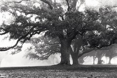 """transition collision (listening to """"silver coin"""", angus and julia stone) (jeneksmith) Tags: trees winter blackandwhite mist nature monochrome weather fog canon mississippi grey oak natural grove outdoor gray foggy longbeach climate canoneos70d"""