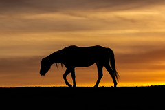 IMG_1717 (Terry L Richmond) Tags: sunset horse canada silhouette walking alone peaceful backlit canon70200mmf40l canon6d