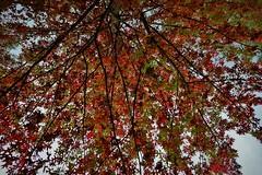 dendron (gavingmb) Tags: life autumn red black colour tree art nature beauty leaves composition landscape prime nikon seasons outdoor branches australia environment canberra artery veins 20mm f18 deciduous fx ultrawide external nerves dendrites d610 dendron 20mmf18 ultrawideprime