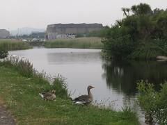 Geese (Paul McNamara) Tags: ireland wicklow arklow
