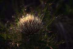 thistle? (tom bourdot) Tags: light plant nature digital outside spring bokeh hiking thistle may nj gimp depthoffield wetlands capemay marsh nikkor magichour capemaylighthouse nikond5300