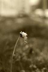 Bokeh 35mm (Claudio Taras) Tags: bw flower nikon natura monochrom fiori claudio biancoenero controluce trier taras contrasto