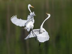 Great Egret Fight (Jerry_a) Tags: nature birds wildlife delaware egret greategret egrets birdinflight bombayhook canon500mmf4lisusm canon1dx