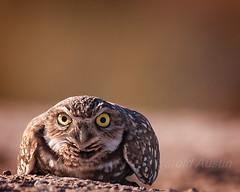 Angry Bird (ausmc_1) Tags: arizona usa bird december outdoor wildlife raptor yuma 2012 burrowingowl d90 nikon300f4 nikon14tceii