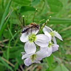 What Could It Bee? (Bricheno) Tags: macro insect scotland escocia szkocja renfrew schottland scozia renfrewshire cosse  esccia   bricheno scoia