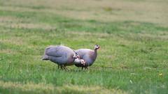 Partridge trio (Doug's Photography) Tags: ny newyork bird birds outdoors nikon wildlife longisland 300mm fullframe coldspringharbor d610 nikon300mmf4afs nikond610
