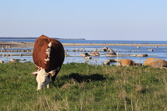 paysage unique (Claire-L) Tags: mer cow hereford animaux vache land sude