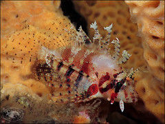 Dwarf Lionfish (Dendrochirus brachypterus) (Brian Mayes) Tags: canon underwater australia scuba diving lionfish pipeline nelsonbay 1744 g16 dendrochirusbrachypterus dwarflionfish brianmayes shortfinlionfish canong16