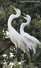 Mother & Child (wesjr50) Tags: animals birds wading great egret nests st augustine alligator farm canon 7d mk ii ef 100400mm f4556 l is usm nature wildlife