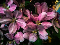 Pretty in Pink (Digital_Third_Eye) Tags: pink flowers summer flower nature yellow wisconsin flickr may 2015 danecounty