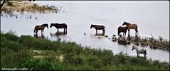 Um momento de descanso. (fernandocunha2) Tags: brasil cavalos maranho riopindar