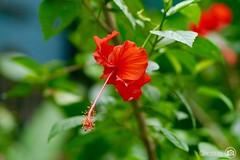 Hello Wednesday! #Panasonic #flower #outdoor (choong mun) Tags: flowers red nature leaf outdoor 450mm panasonicdmcg3