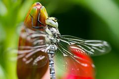 IMG_7487 (ruut103) Tags: closeup fauna photo dragonfly