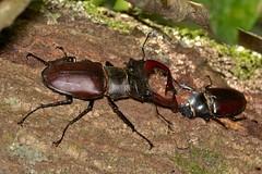 Lucanus (Lucanus) cervus (Linnaeus, 1758) (Jesús Tizón Taracido) Tags: coleoptera polyphaga scarabaeiformia scarabaeoidea lucanidae lucanuscervus