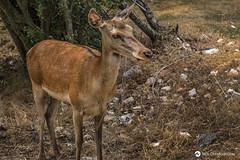 _MG_9277 (nikhrist) Tags: deer parnitha nickchristodoulou