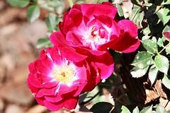 Maig_1122 (Joanbrebo) Tags: barcelona park flowers parque flores fleur blossom blumen fiori parc flors autofocus parccervantes efs18135mmf3556is canoneos70d