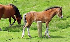 Foal enjoying his freedom. (Blossom's Mom.(Sheila Hess)) Tags: june pony longmynd foal 2016