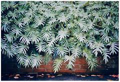 Foliage (Anita Waters) Tags: leaves fuji superia olympus foliage 400 analogue xtra om2n