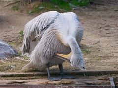 P1010493 (lychee_vanilla) Tags: bird animal zoo pelikan mnster vogel pelecanus zoomnster