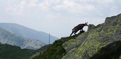 Chamois (Marek Soltysiak) Tags: demanovska slovakia slovensko nizke tatry nizne mountains dolina jasna dumbier chopok