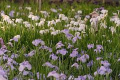 52Yamada Pond Park (anglo10) Tags: flower japan nightscape