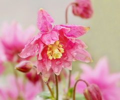 Columbine on a Rainy Day (janruss) Tags: flower nature floral rain natureza ngc columbine flickrdiamond janruss janinerussell magicunicornverybest magicunicornmasterpiece hennysgardens bewiahn
