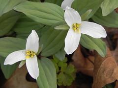 Snow Trillium (Trillium nivale) (Aeranthes) Tags: trillium nivale snowtrillium trilliumnivale