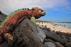 Marine Iguana, Espanola Island, Galapagos (blinkingidiot) Tags: beach am ecuador marine wildlife galapagos iguana espanola marineiguana photomix thegalaxy galapagosiguana mygearandme mygearandmepremium mygearandmebronze mygearandmesilver blinkagain bestofblinkwinners blinksuperstars flickrstruereflection1 flickrstruereflection2 allofnatureswildlifelevel2 allofnatureswildlifelevel5 allofnatureswildlifelevel7 rememberthatmomentlevel1 rememberthatmomentlevel7 rememberthatmomentlevel6 marineiguanainbreedingseason vigilantphotographersunite vpu2 vpu3 vpu4