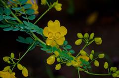 Flôres amarelas. (Adolfo Alarcon) Tags: flôres amarelas