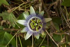 Pasiflora (Pepe Palao) Tags: espaa fotos imagenes marmenor yecla sanpedrodelpinatar sanjavier lopagn regiondemurcia jopachi pepepalao