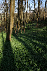 Garlic & shadows (Greg.w2) Tags: wood uk wild england sunlight tree english tom woodland march spring shadows derbyshire sony garlic greenery 2012 charlesworth ransoms nex5n