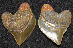 Crow Shark (Squalicorax Pristodontus) (Fossiltoothpic) Tags: macro animal animals canon tooth fossil shark teeth paleontology prehistoric extinct fossils sharkteeth cretaceous sharktooth 100mmmacro canoneos7d fossilsharktooth fossiltooth crowshark fossilteeth squalicorax