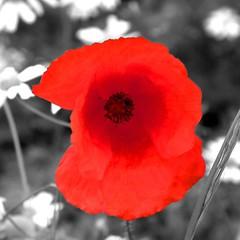 Poppy Colour (Bluebirds Photography) Tags: red vivid poppy grayscale striking colourpop colourpopped
