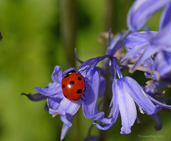 (yvonnepay615) Tags: uk flower nature lumix ngc norfolk panasonic ladybird g1 bluebell 45mm eastanglia pensthorpe