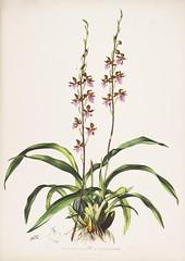 n38_w1150 (BioDivLibrary) Tags: guatemala mexico orchidaceae plants missouribotanicalgardenpeterhravenlibrary bhl:page=769154 dc:identifier=httpbiodiversitylibraryorgpage769154 taxonomy:binomial=rhynchostelebictoniensis womeninscience artist:name=augustainneswithers artist:viaf=95819243 augustainneswithers q2870951 illustrator:wikidata=q2870951 hernaturalhistory