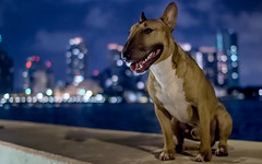 Lucifer, our little man (lostINmia) Tags: city red english canon lights bokeh miami 14 sigma bull terrier t3i 30mm
